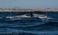 Of a humpback whale, that is. These majestic creatures return every year to Baja California waters in the winter to mate and breed. If you ever witness one in close range, it will be a memory that sticks with you for long, long, time.
