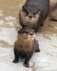 I cant help it i have a thing with otters!!! I REALLY REALLY want one!!!