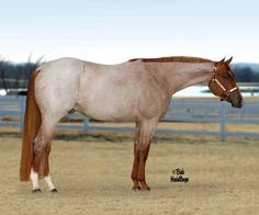 VS Code Red AQHA Stallion.  Textbook red roan!