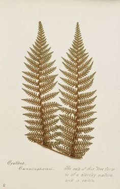 King Tawhiao's fern collection University Of Western Ontario, Tree Fern, Ancient Artifacts, Natural History, Ferns, New Zealand, Design Art, Art Projects, Paisley