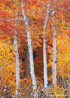 autumn aspens, Bishop, CA Amazing Photography, Photography Tips, Better Photography, Nature Photography, Aspen Trees, Autumn Trees, Best Photographers, Camping Hacks, Camping Gear