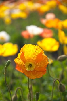 Poppy, Spring, Flowers, Yellow