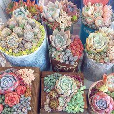 * * 今年最後の水やり✨ クセ寄せのみなさんが可愛い‼️ * #クセ寄せ#多肉植物#多肉 #タニラー#神奈川タニラーの会 #ガーデニング#寄せ植え #succulent#succulents#echeveria#succulentlove#succulentgram #plants#green#cactus#sedum #instaplants#gardening Growing Succulents, Succulents In Containers, Cacti And Succulents, Container Plants, Planting Succulents, Container Gardening, Succulent Wall, Succulent Arrangements, Green Cactus