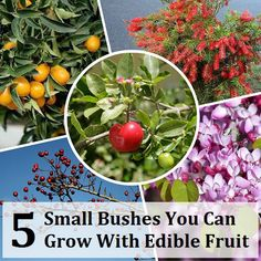 5 Small Bushes You Can Grow With Edible Fruit