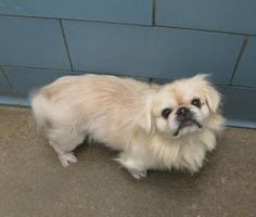 DIMAGGIO is an adoptable Pekingese Dog in Hurst, TX. WHAT A FACE!! GREAT PERSONALITY, SUPER COMPANION DOG!...