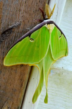 The Mysterious Luna Moth.