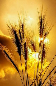 Fields of gold Fields Of Gold, Beautiful Sunset, Beautiful Images, Wheat Fields, Nature Pictures, Amazing Nature, Belle Photo, Mother Nature, Nature Photography