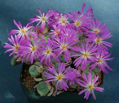 Conophytum minutum ssp pearsonii