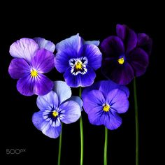 YOU GOT ME SINGING THE BLUES… Violets by Magda Indigo on 500px