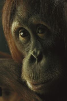 National Geographic: Smithsonian National Zoo, Washington, Dc. USA,   by National Geographic - Orangutan