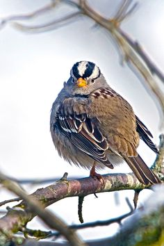 I like big birds and I can not lie...Beautiful White-crowned Sparrow  /  Rick Leche