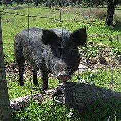 Liste von Schweinerassen - WikiVisually