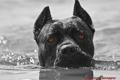 From ' About Time Cane Corso'
