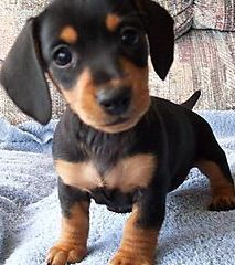 when I have my own place, this is the only kind of dog I would ever have.  a little dachsund aka weiner dog!!!