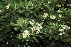 Image result for pittosporum tobira