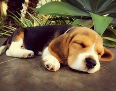 Are you interested in a Beagle? Well, the Beagle is one of the few popular dogs that will adapt much faster to any home. Whether you have a large family, p Cute Beagles, Cute Puppies, Cute Dogs, Dogs And Puppies, Doggies, Lap Dogs, Cute Baby Animals, Animals And Pets, Animals Photos