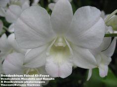 Dendrobium 'Faisal El-Fayez' [Dendrobium Masahito and Hanako X Dendrobium phalaenopsis]