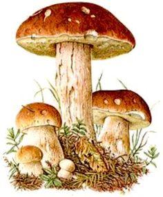 "Bildquelle: Ernst Klett Verlag – Steinpilz Source: Ernst Klett Verlag – Steinpilz ""Chiroptera Bats"" by Ernst Haeckel ImpressionEach ceramic suspension with fish and driftwood is lovinglyInspirationBall with big flowersPinnwandCeramic boat cutter Mushroom Drawing, Mushroom Art, Mushroom Fungi, Botanical Drawings, Botanical Prints, Wild Mushrooms, Stuffed Mushrooms, Nature Illustration, Nature Journal"