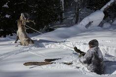 Jonas Bendiksen CHINA. 2013. Altai Mountains, Xinjiang. Serik using his skis as an anchor while an elk battles him. They u