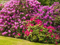 Rododendrony - kdy a jak je stříhat? Jak o ně pečovat po odkvětu?
