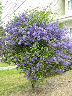 Petrea subserrata - Flor-de-são-miguel floração: setembro Blue Tree, Garden Design, Plants, Garden Decor, Outdoor Gardens, Shrubs, Trees To Plant, Outdoor Plants, Colorful Garden