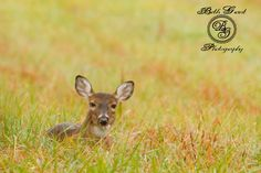 A Whitetail doe hides away in the grass in Cades Cove, TN © Beth Grant Photography