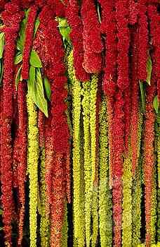 Love Lies Bleeding - Amarathus Caudatus is a spectacular plant that has wonderfully long chenille tassels that hang down from its upright stems. Nearly all parts of the plant are edible including the seeds and the leaves.