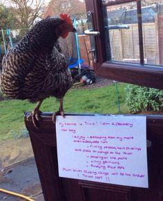 Ha Ha! Chicken shaming.