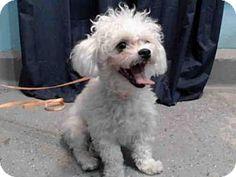 Baldwin Park, CA - Toy Poodle. Meet SADIE, a dog for adoption. http://www.adoptapet.com/pet/17647811-baldwin-park-california-toy-poodle