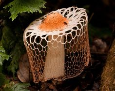 Crinoline Stinkhorn or Veiled Lady (Phallus indusiatus). Found in southern Asia, Africa, the Americas, and Australia. by Mark Ziembicki Mushroom Art, Mushroom Fungi, Wild Mushrooms, Stuffed Mushrooms, Mushroom Pictures, Slime Mould, Plant Fungus, Jolie Photo, Amazing Nature