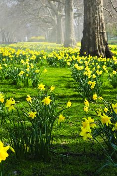 Purchase daffodils in fall and they bloom in spring.  The great thing about daffodils is that they multiply each year and turn into large clumps like this. Use them in meadows or in gardens.