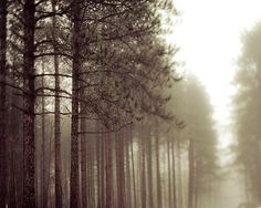 Pine Tree photograph, spring, green, brown, white, fog, nature photography, rustic wall decor on Etsy, $15.00