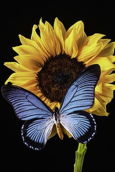 Gorgeous Blue Butterfly On Yellow Sunflower Blue Butterfly Wallpaper, Sunflower Wallpaper, Abstract Iphone Wallpaper, Cute Wallpaper Backgrounds, Cute Wallpapers, Butterfly Watercolor, Sunflower Pictures, Sunflower Art, Butterfly Pictures