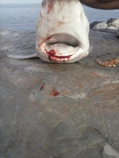 White Shark caught In UAE from shore