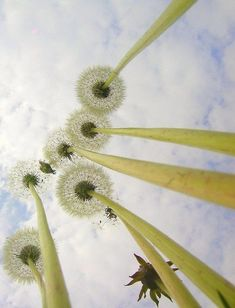 amazing shot of dandelions