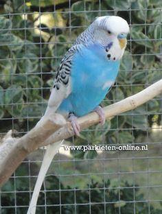 Budgies - Parakeets - Grasparkieten - Parkieten www.parkieten-online.nl