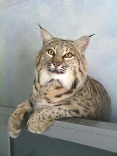 Exotic pet  Bobcat