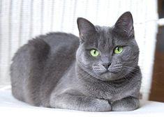 Grey Cat Breeds, Kitten Breeds, Best Cat Breeds, Beautiful Cat Breeds, Beautiful Cats, Kittens And Puppies, Cats And Kittens, Russian Cat Breeds, Russian Blue Kitten
