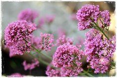 mai 2011 0148 Dans mon jardin des Olives