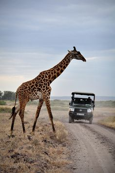"When we lived in Kenya, giraffe's crossing the road was a ""normal thing"".  One night when we went to the airport in our tiny, economy car, one crossed the road in front of us.  Fortunately, the timing worked in our favor as we surely would've been killed if we had run into the giraffe."