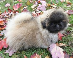 Adorable Pekingese puppy!