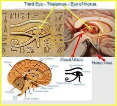 Eye of Horus , Eye of Ra , Thalamus , Pineal Gland, Third Eye, Egyptian symbol