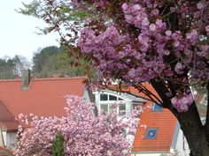 Kirschblüte in Weil der Stadt