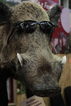 Boar with glasses...