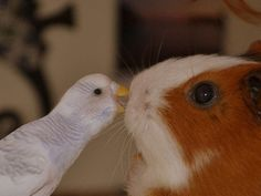 I love the expression on the guinea pigs face!