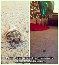 FRANKLIN. Someone named a bitty turtle Franklin and tied a balloon around him!!!!!!! I'm in love.