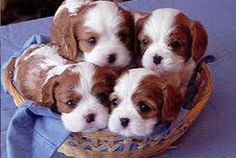 Cavalier puppies :-) little dolces! I want another one, one day!