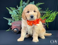 Goldendoodle Puppies - Golden Retriever Puppies