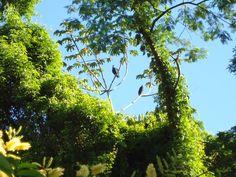 Bird named Jacú,from atlantica rain forest