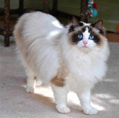 Ragdoll - Most Affectionate Cat Breeds